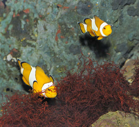 Fish - the clown. A colourful tropical fish under water Stock Photo - 6558717