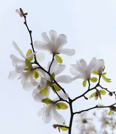 Blossoming tree magnolia. A close up, white flowers photo