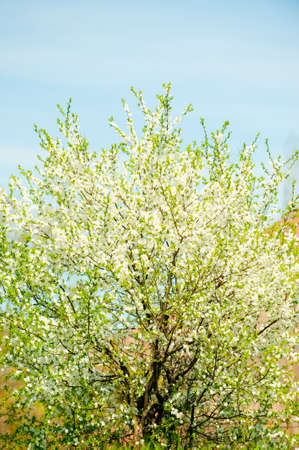 Blossoming spring tree. White flowers, an apricot. A bright sunny day photo