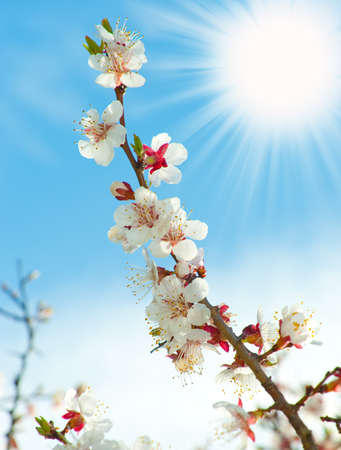 Blossoming branches of a tree with sun beam. White flowers on a background of the blue sky photo