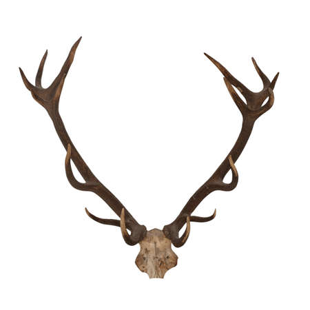 big moose: Horns of an animal. Horns of largly horned stock, it is isolated on a white background