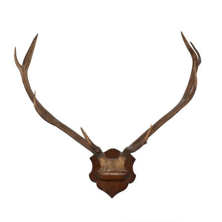Horns of an animal. Horns of largly horned stock, it is isolated on a white background photo