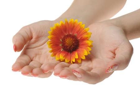 Flower in female hands. It is isolated on a white background photo
