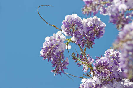 Wisteria  is a genus of flowering plants in the pea family photo
