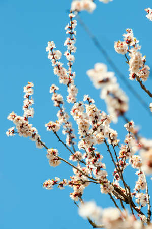 Blossoming branches of a tree. White flowers on a background of the blue sky photo