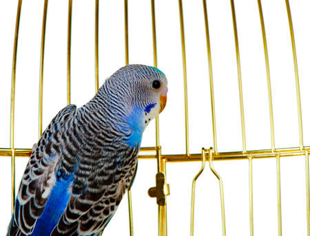 ennui: Parrot on a lattice cage. It is isolated on a white background.