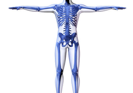 transparent male anatomy: Skeleton of the man. 3D the image of a mans skeleton under a transparent skin