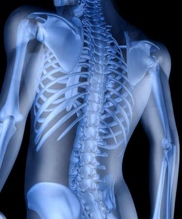 spina dorsale: Scheletro di un uomo. 3D l'immagine dello scheletro di un uomo sotto una pelle trasparente