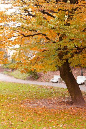 Autumn tree with yellow foliage. The Lvov park Stock Photo - 9966389