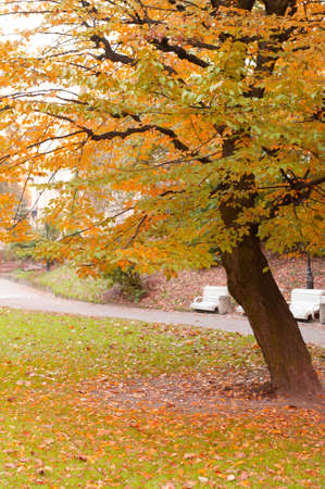 Autumn tree with yellow foliage. The Lvov park Stock Photo - 9966389
