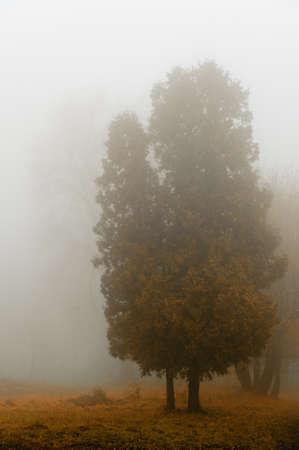 fog forest: Tree in a fog.Autumn tree in a dense fog