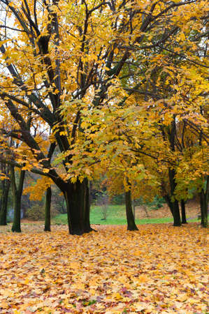Autumn tree with yellow foliage. The Lvov park Stock Photo - 10424963