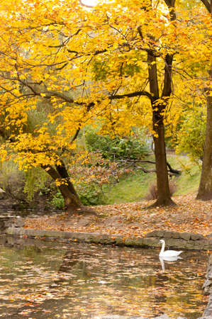 Lake with a swan in autumn park. The Lvov park photo