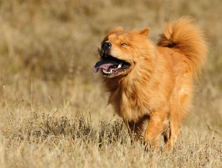 Running dog. Breed of Chow-chow. A photo on outdoors photo