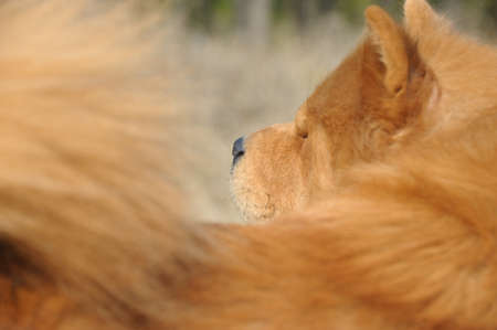 Dog close up. Breed of Chow-chow. A photo on outdoors photo