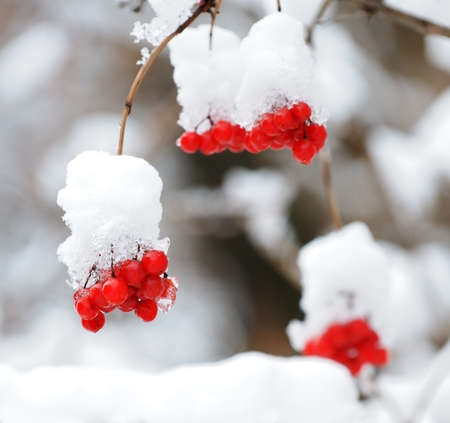 winter garden: Mountain ash covered with snow. Red berries on a branch in snow.