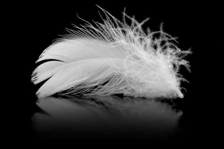 piuma bianca: Feather. La piuma di uccello si trova su uno sfondo nero con riflessi Archivio Fotografico