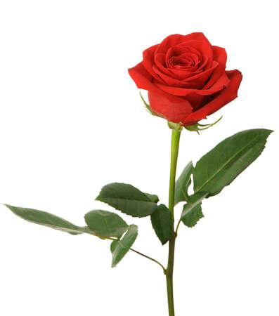 rosas rojas: Rosa roja. Es aislados sobre un fondo blanco Foto de archivo