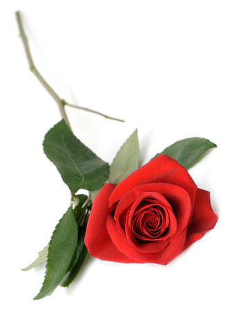 single rose: Red rose it is isolated. Lies on a white background