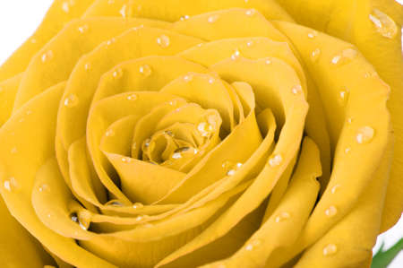 Yellow rose with water drops. A photo closeup photo
