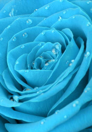 dewdrops: blue rose with water drops. A photo closeup Stock Photo