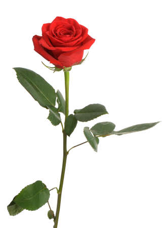 stem: Red rose. It is isolated on a white background