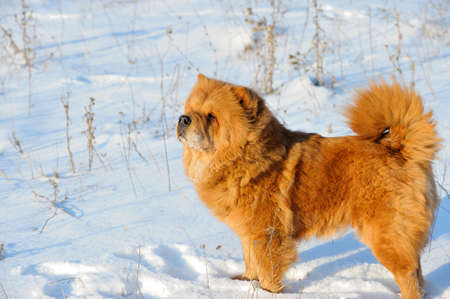 doggie: Dog on snow. Breed chow-chow. Red colour