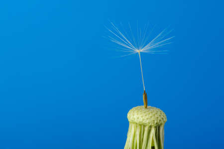 Dandelion with one seed on a blue background. Detailed picture of a flower photo
