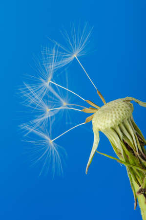 Dandelion with partial seeds. Detailed picture of a flower photo