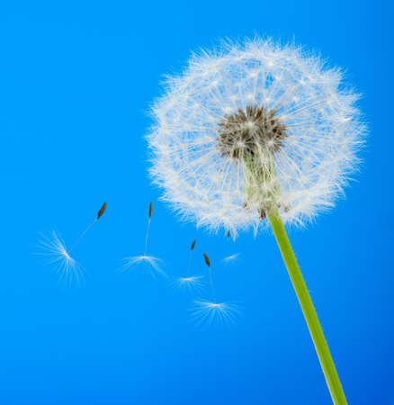 Dandelion on a blue background. Detailed picture of a flower photo