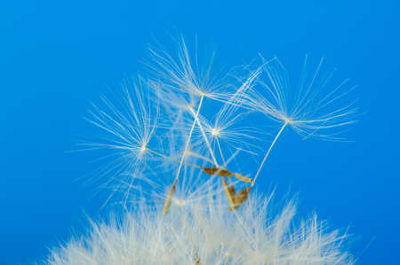 Dandelion on a blue background. Detailed picture of a flower Stock Photo - 13635450