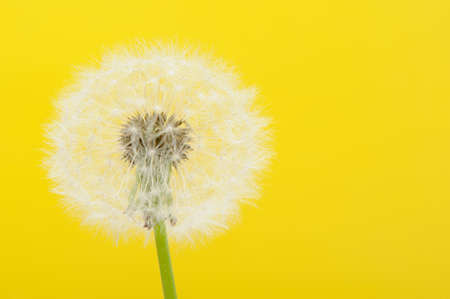 yellow teeth: Dandelion on a yellow background. Detailed picture of a flower Stock Photo