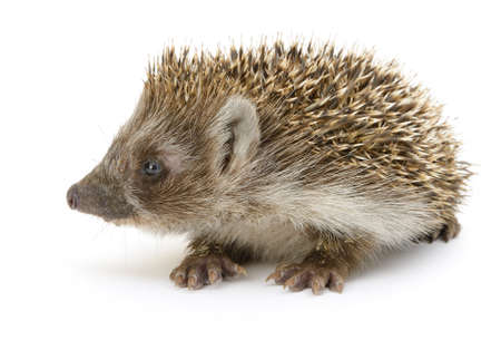white paw: hedgehog isolated. Small mammal with spiny hairs on its back and sides