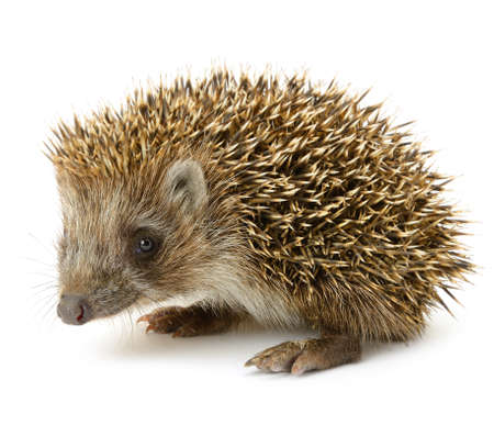 hedgehog isolated. Small mammal with spiny hairs on its back and sides photo