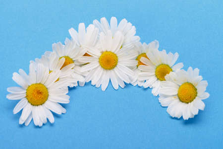 Wild chamomile. White flowers on a dark blue background photo