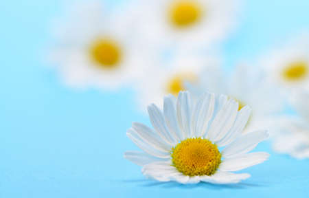Wild chamomile. White flowers on a dark blue background Stock Photo - 14408375