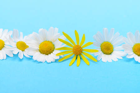 Wild chamomile and yellow flower. White flowers on a dark blue background Stock Photo - 14411923