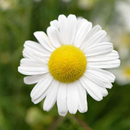 Wild chamomile. White flowers. Selective focus. Bokeh photo