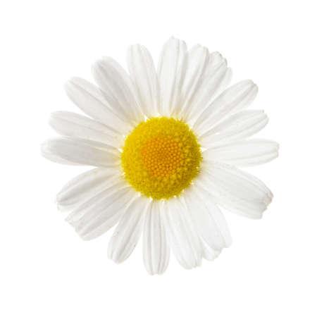 Wild chamomile. Isolated on white background Stock Photo - 14408382