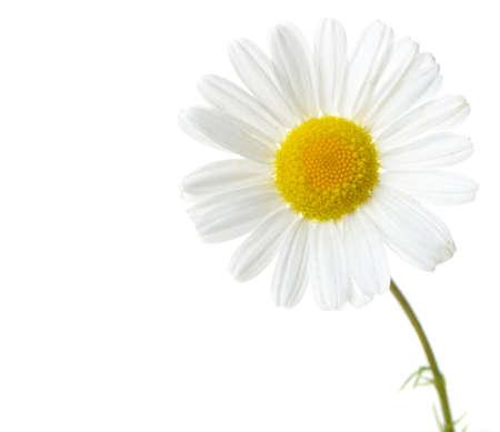 Wild chamomile. Isolated on white background Stock Photo - 14411903