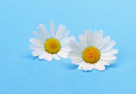 Wild chamomile. White flowers on a dark blue background Stock Photo - 14508068