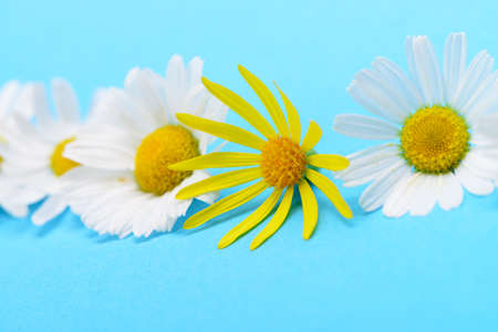 Wild chamomile and yellow flower. White flowers on a dark blue background Stock Photo - 14508085