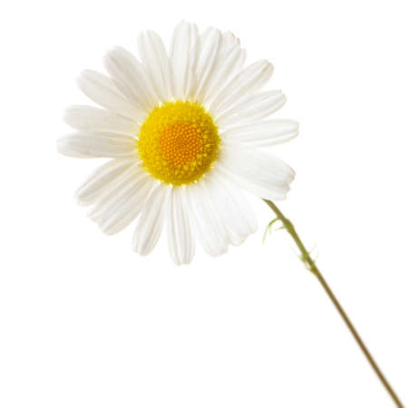 Wild chamomile. Isolated on white background Stock Photo - 14508044