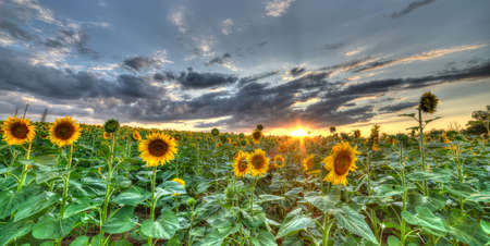The landscape of the field with sunflower. High Dynamic Range photograhy Stock Photo - 14508122