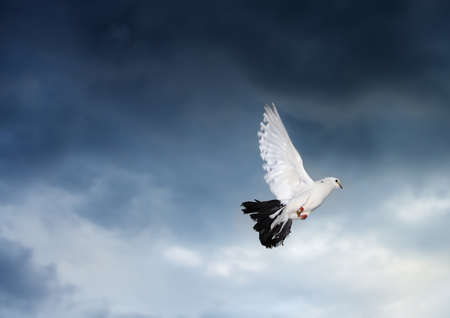 Flying dove on the stormy sky. Photo in motion photo