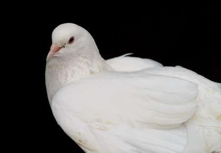White dove on a black background. Photo closeup Stock Photo - 14660340