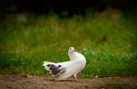 White dove to blur the background Stock Photo - 14660358