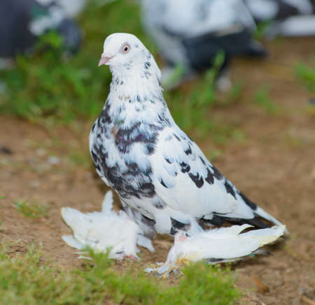 The dove. Bred a dove on the open areas Stock Photo - 14660343