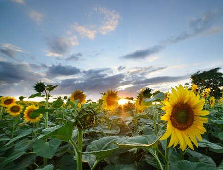 hdr: Le paysage du champ de tournesol. Banque d'images