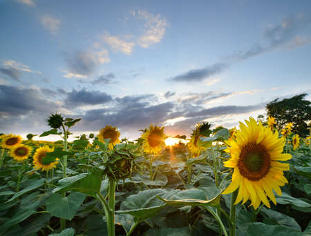 The landscape of the field with sunflower.